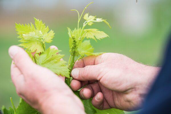 white grape vines in hands
